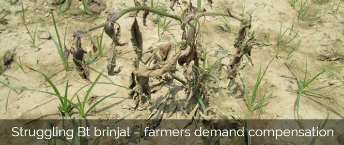 Bt brinjal farmers demand compensation