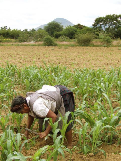 Mexican farmer maize field