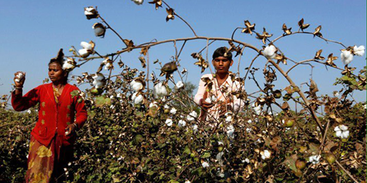 Indian Farmers Picking Cotton