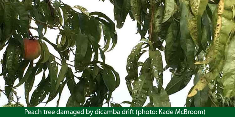 Peach tree damaged by dicamba drift