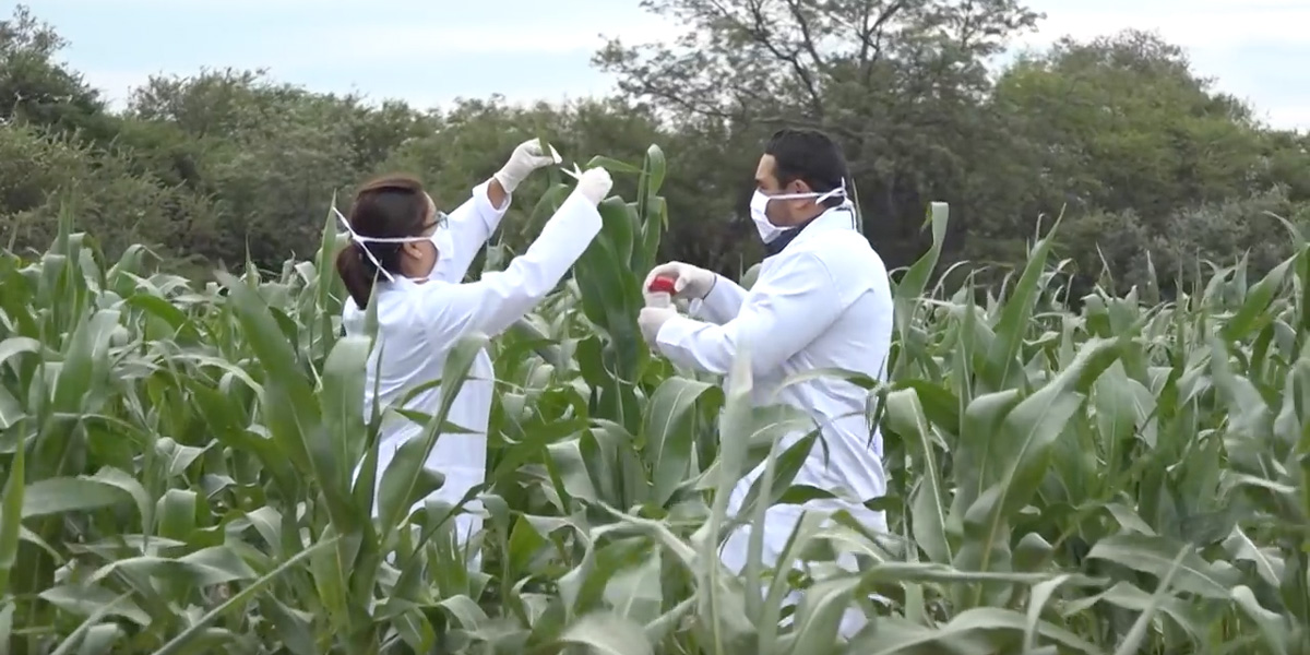 Scientists testing for illegal GM maize found growing in Bolivia