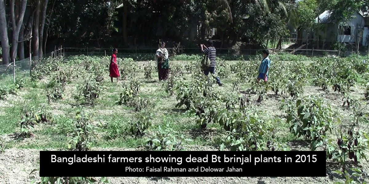 Bangladeshi farmers showing dead Bt brinjal plants in 2015