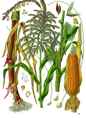 Maize Illustration