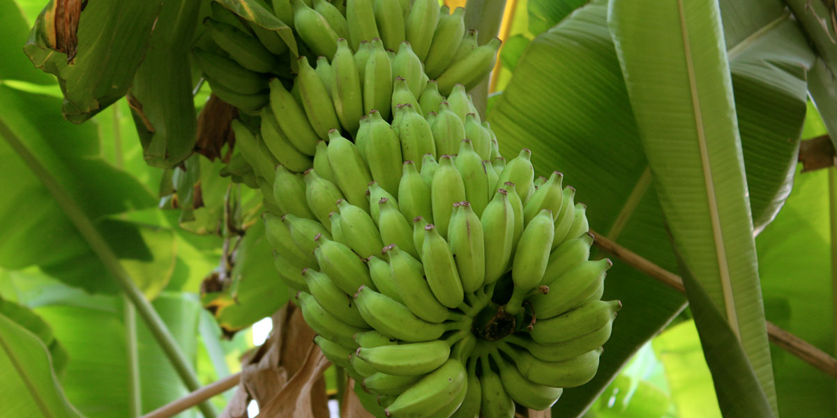 A cluster of bananas