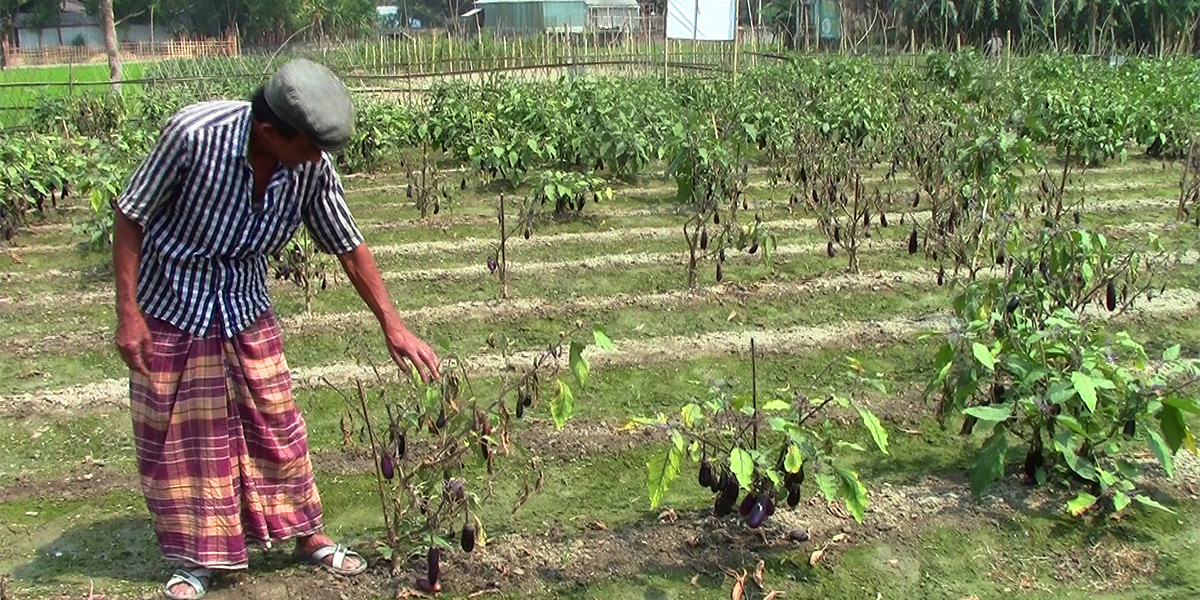 Abul Hayet, Dhanua, Narsingdi, showing disease-affected Bt brinjal plants in his field