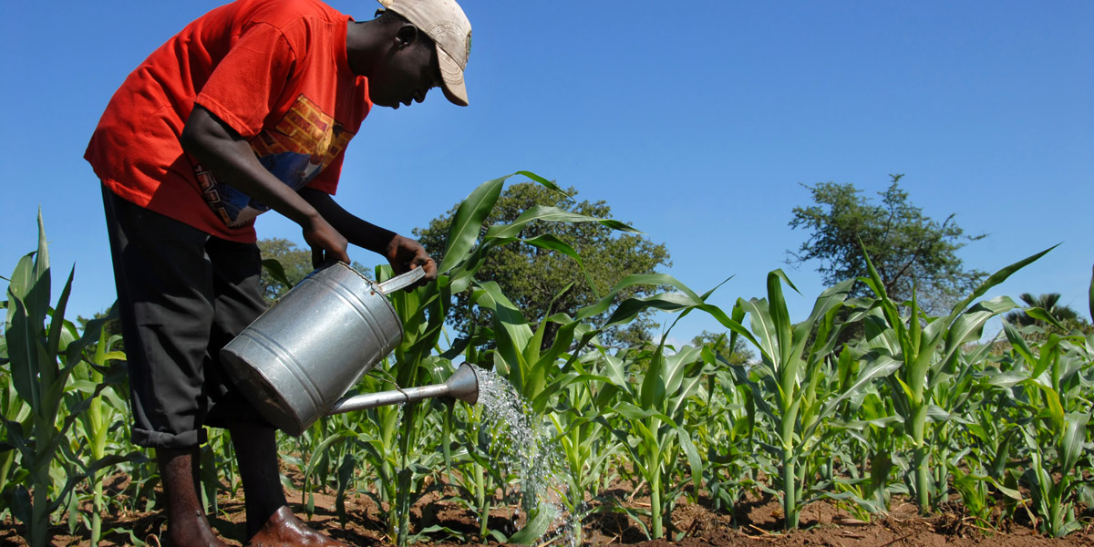 African Farmer watering maize