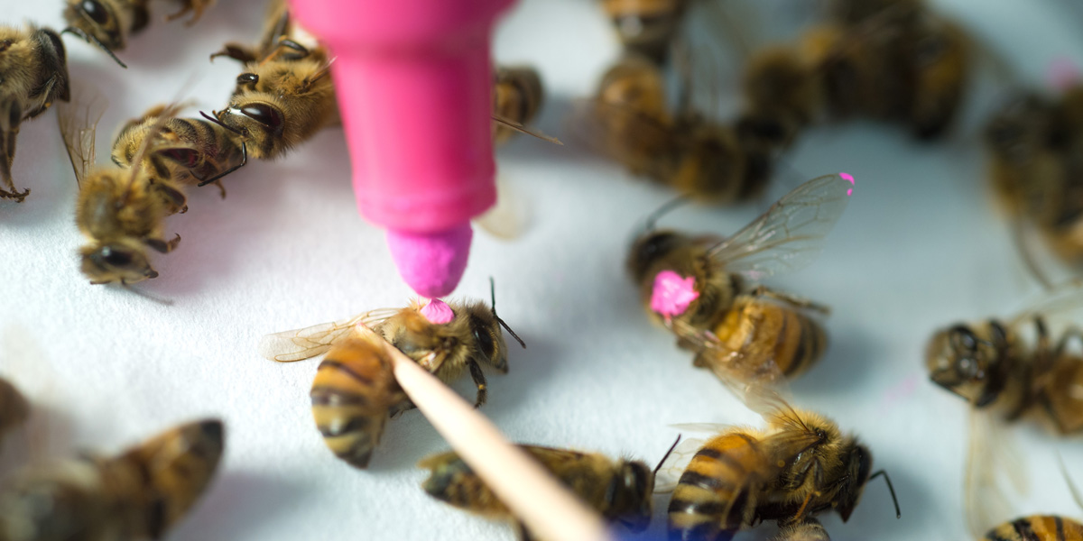 Bees in study of Glyphosate poisoning