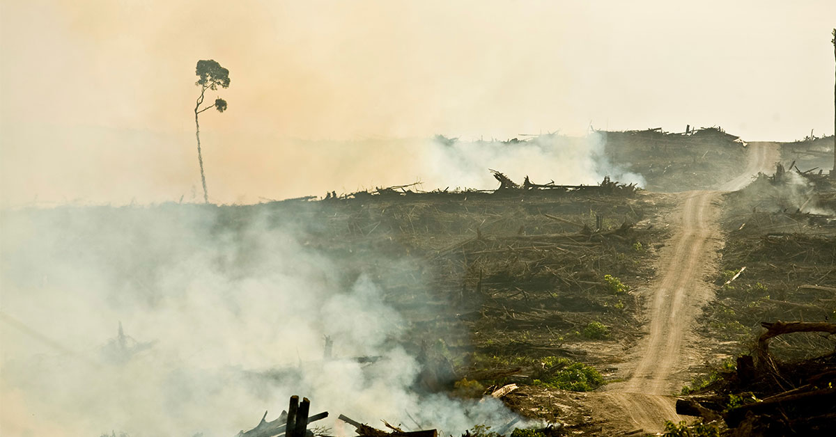 Burning rainforest for palm oil growing