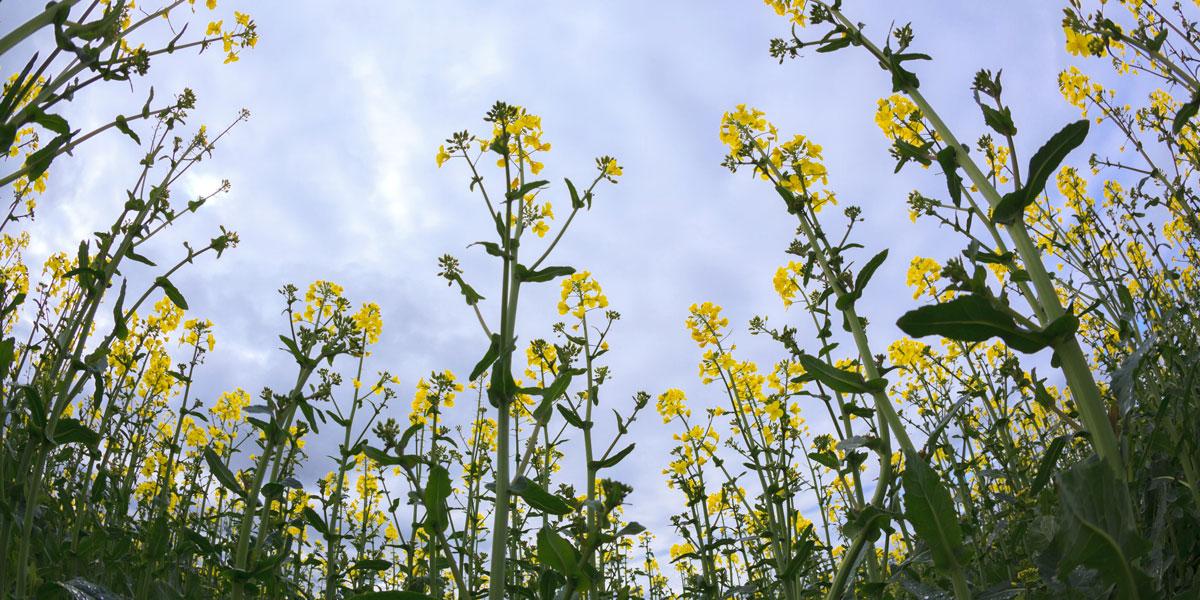 Canola oil seed