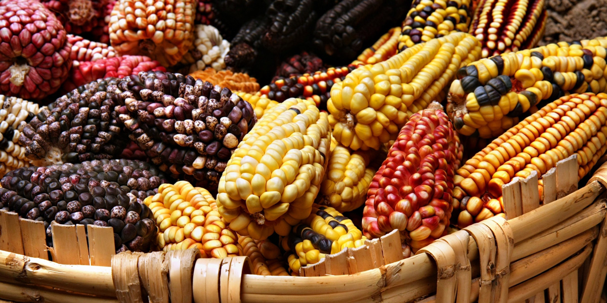 Coloured corn cobs from Mexico