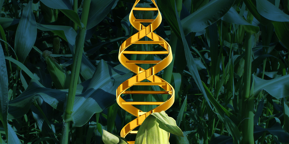 Corn and DNA