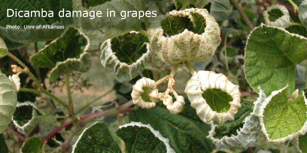 Dicamba damage in grapes