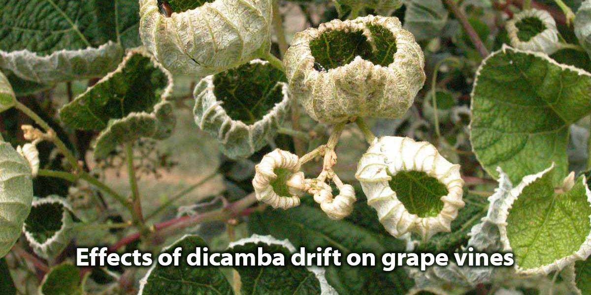 Effects of dicamba drift on grape vines