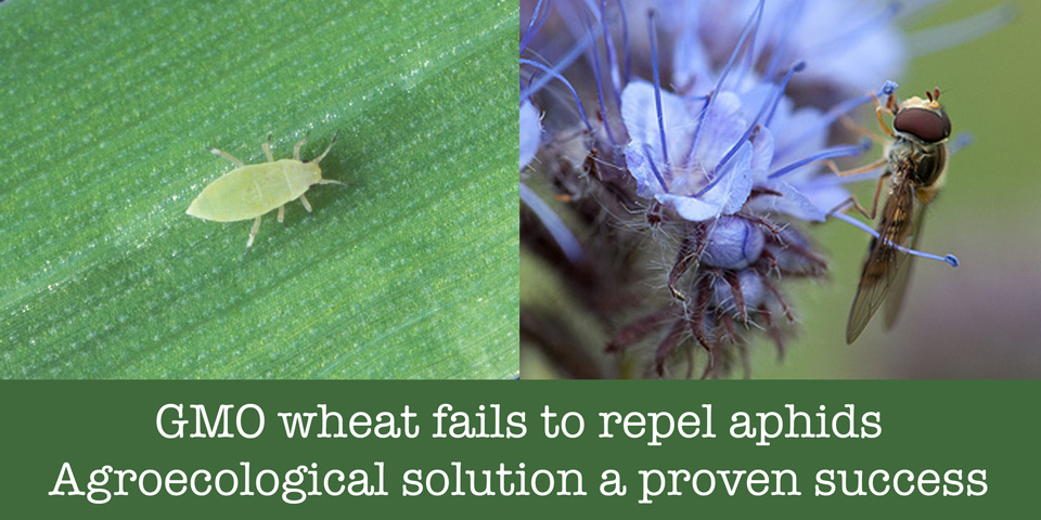 GMO wheat fails to repel aphids. Agroecological solution proven success.