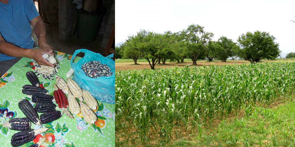 Maize varieties and Maize plot and neighbour plots