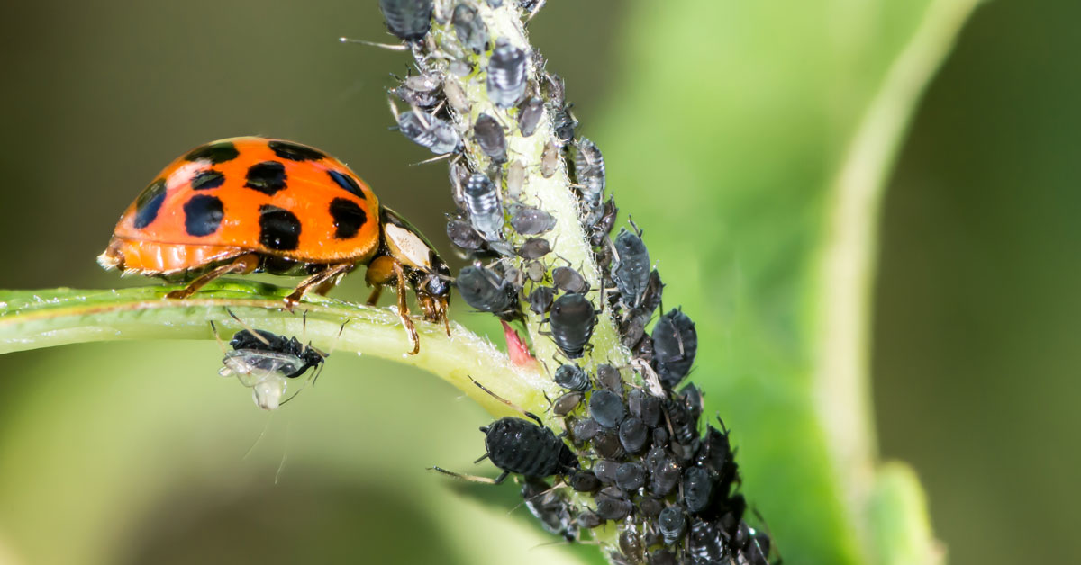 Ladybird eating aphids and pests