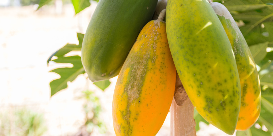 Papaya Fruit On Tree