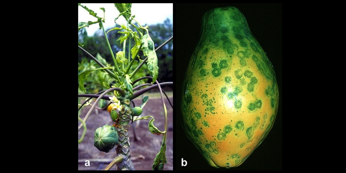 Papaya Ringspot Virus Symptoms