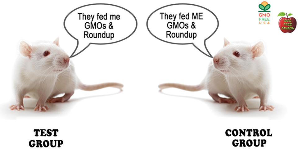 Rats fed GMO and Roundup