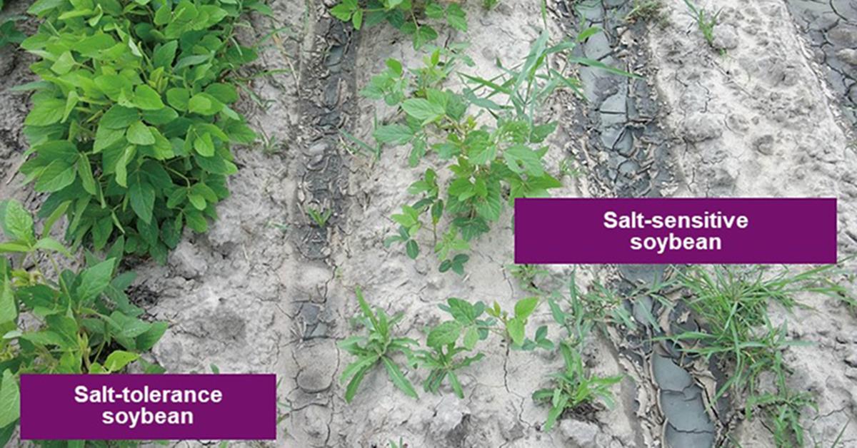 Salt-tolerant and salt-sensitive soybeans