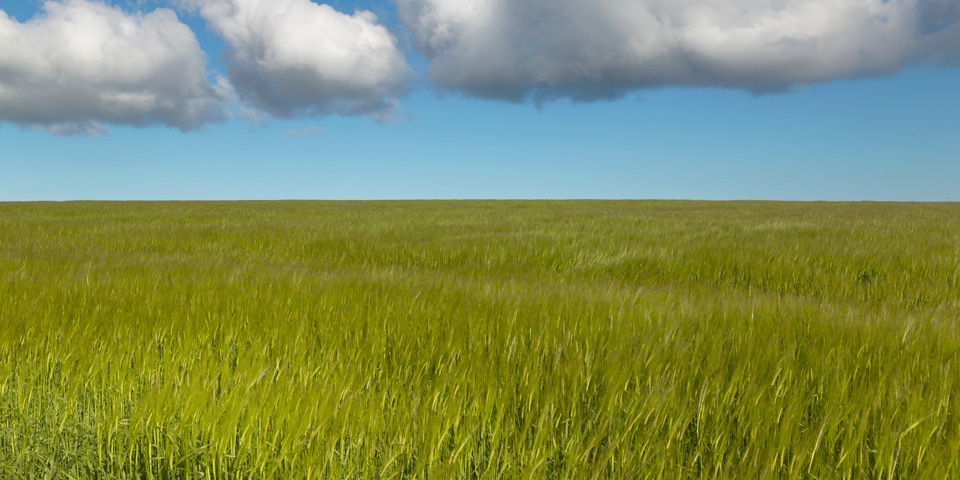 Scottish Wheat Field, Orkney