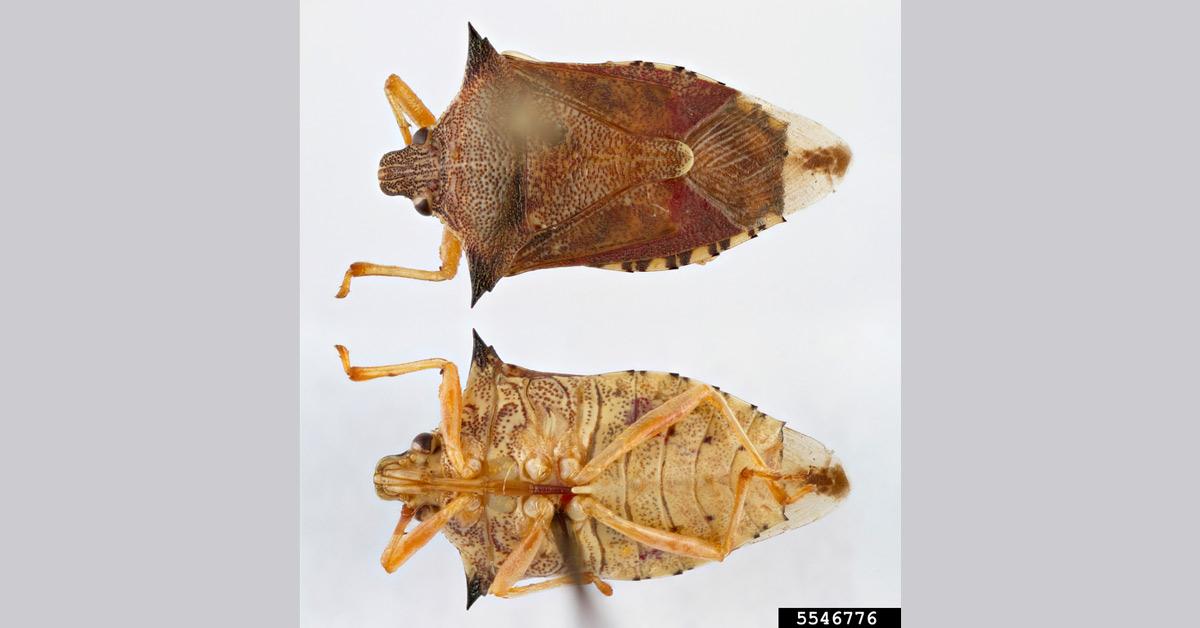 Armyworm pest