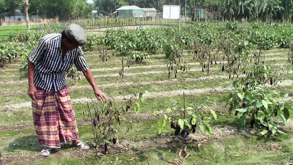 Abul Hayet showing diseased Bt brinjal plants in his field