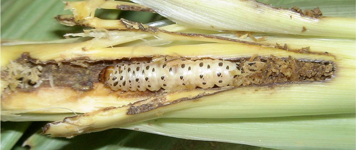 maize pest damage