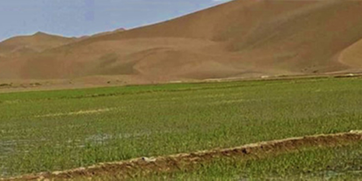 salt-resistant rice in desert